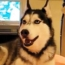 Husky Dog Talking