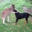 Kangaroo pets Rottweiler