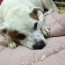Picture of Jack Russell sleeping on bed made by Rational Animal
