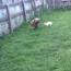 Mastiff and Rabbit
