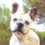 The Boston Terrier VS The French Bulldog