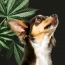 CBD & Your Dog