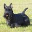 the Scottish Terrier