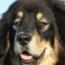 Tibetan_Dog-sm.jpg