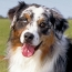 Australian Shepherd VS Australian Cattle Dog