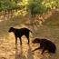 dogswine_sm.jpg