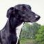 Greyhound VS Whippet thumb