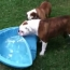 Gus the Bulldog Really Wants an Indoor Pool
