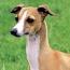 Greyhound VS Italian Greyhound thumb
