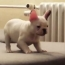 Video of the Day: French Bulldog Puppy Takes Leap of Faith