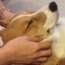 Video of the Day: Corgi Enjoying a Massage