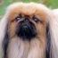 Pekingese VS Japanese Chin thumb