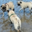 This Is What Happens When Pugs Take Over The Beach