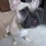 Adorable Talking Frenchie