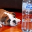 Bulldog Puppy vs Water Bottle