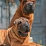 Breed-Shar-Pei-Puppies-sm.jpg