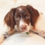 The brittany dog, a cute, loving and sporting member of the spaniel dog family.