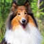 The Collie