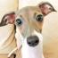 The Italian Greyhound