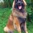 Leonberger-sm.jpg