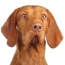 The Wirehaired Vizsla