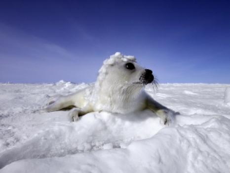 Seal Pups Slaughtered For Sport Not Profit Modern Dog