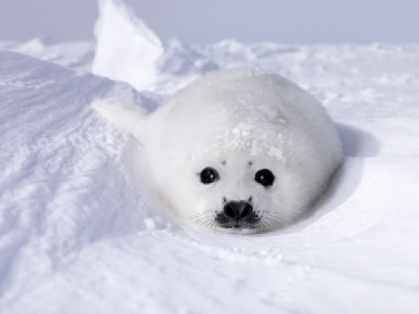 Baby Seals Killed For Food
