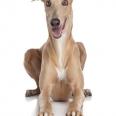 Speed Runner: Greyhound