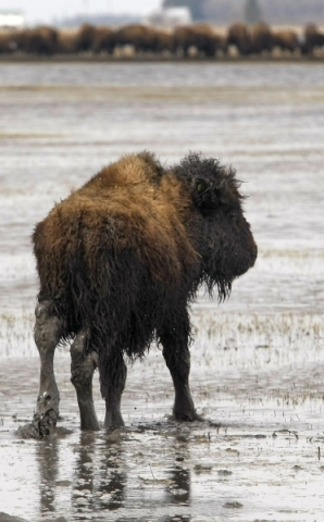 090423-buffalo 2.jpg