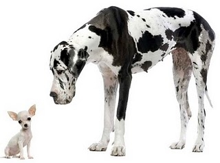 Great_Dane_and_Chihuahua_small.jpg