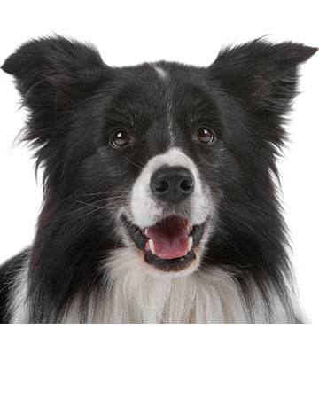 All Around: Border Collie