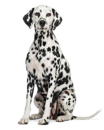 Speed Runner: Dalmatian