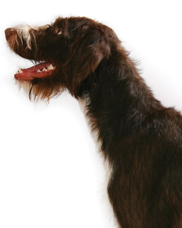 All Around: German Wirehaired Pointer