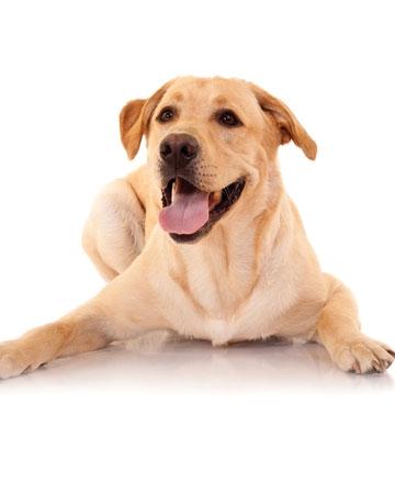 All Around: Labrador Retriever