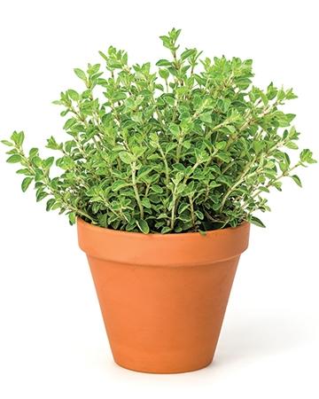 Oregano (Origanum vulgare)