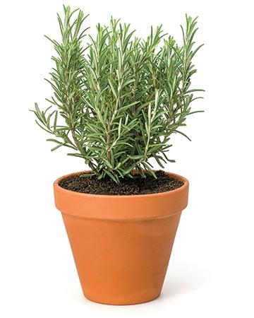 Rosemary (Rosemarinus officinalis)