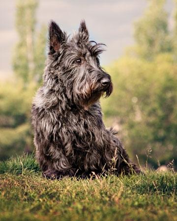 """Scottish Terrier or """"Scottie Dog"""""""