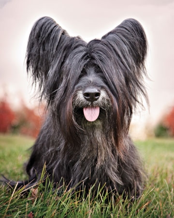 Skye Terrier