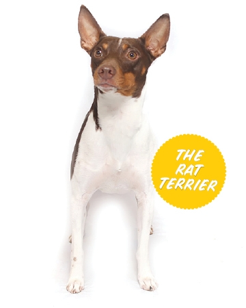 The Rat Terrier (Terrier Group)