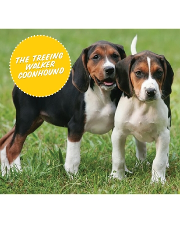 The Treeing Walker Coonhound (Hound Group)
