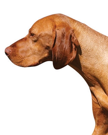 All Around: Vizsla