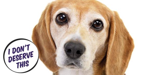 Beagle-Header