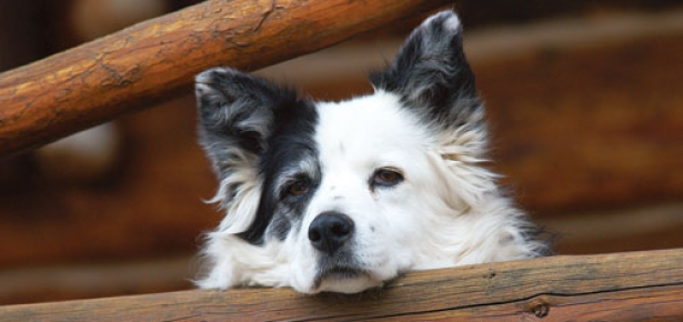 Border_Collie_Waits-hd.jpg