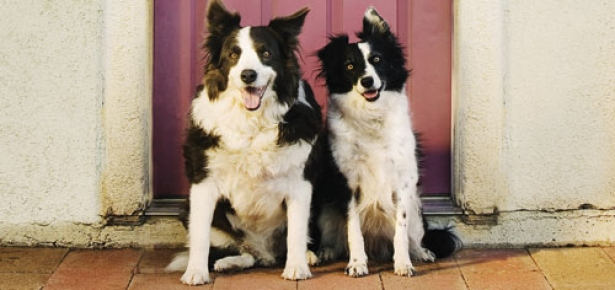 Border_Collies-hd.jpg