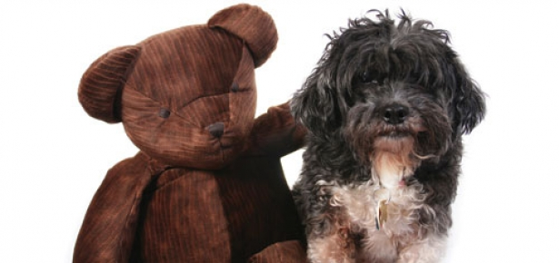 Ask An Expert Obsessive Teddy Bear Humping Modern Dog Magazine