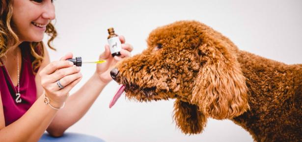 Owner administering CBD oil to dog