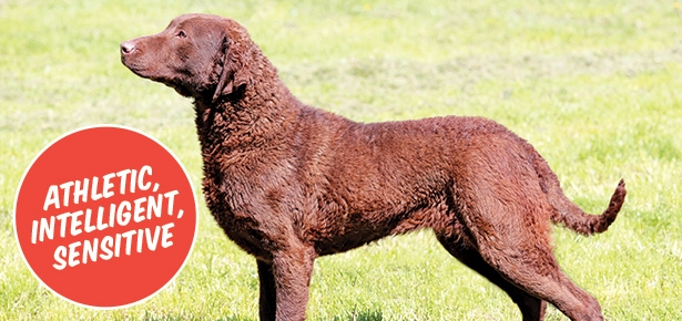 ChesapeakeBayRetriever-Header