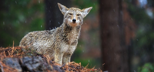 Pet Talk: Protect Your Pets From Coyotes And Other Wild Animals