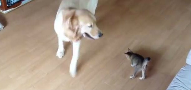 Dog plays with kitten