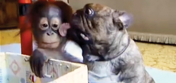 Bulldog Kisses Orangutan